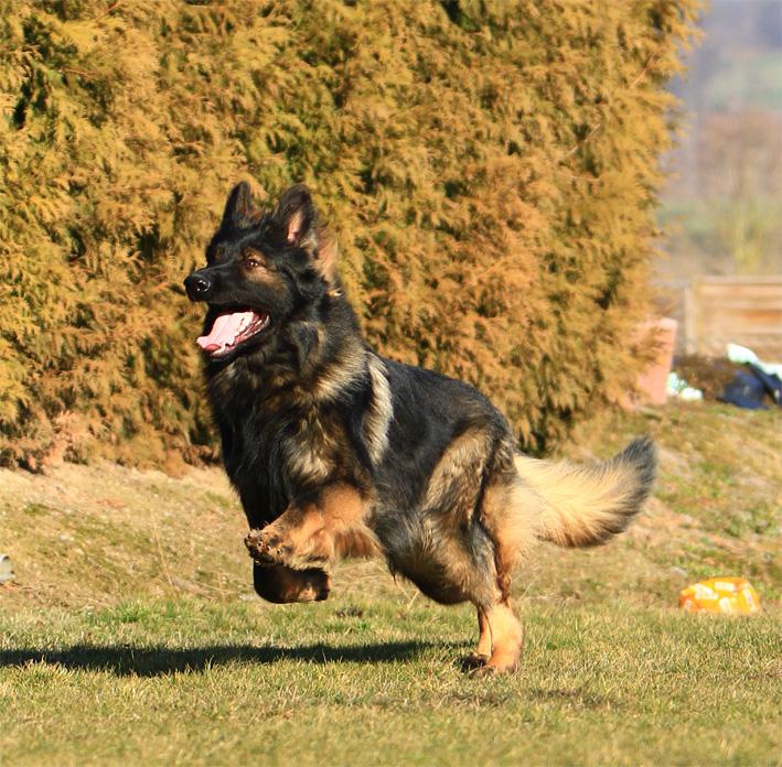 Altdeutscher Schaferhund Altdeutsche Schaferhunde Altdeutscher Schaferhund Deckrude Wambo Vom Murrtal Zwinger